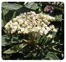 viburnum hispanic singles Download 1,804 viburnum bush berries stock photos for free or amazingly low rates new users enjoy 60% off 75,553,613 stock photos online.