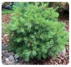 White Pine Dwf