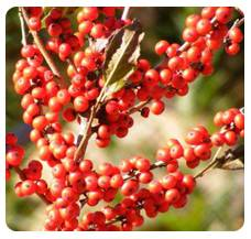 Winterberry Jolly Red