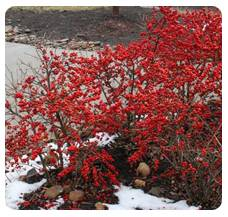 Winterberry Winter Red