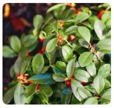 Wintergreen (Gaultheria Proc.)