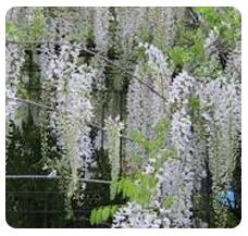 Wisteria F. Snow Showers