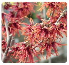 Witch Hazel Diane